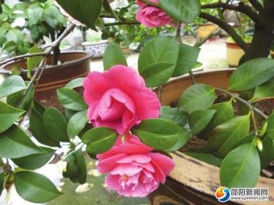 市区一株茶树开出三色花